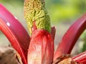 rhubarbe Huang)