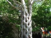 Circus Tree Californie