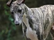 Super whippet mâle robe bringée mois adopter l'association chez chiens galgos