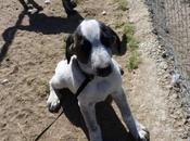 Owie chiot Mastin Espagne mois demià adopter l'association chiens galgos