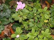 Rhododendron obtusum, azalée toute folle
