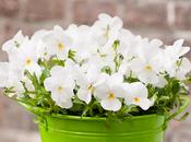 Pensées Viola, jolies plantes d'automne