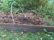 Récolte dernières pommes terre