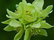 Moschatelline (Adoxa moschatellina)