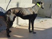S.Hoshi gentil lévrier galgo bringé noir adopter sous contrat associatif chiens galgos