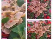 Salade mâche, chou rouge ravioles Roman