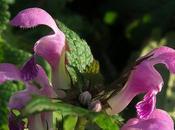 Lamier maculé (Lamium maculatum)