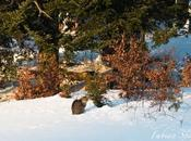 bain soleil chat forestier