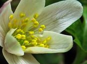 Anémone bois (Anemone nemorosa)
