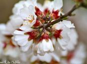 amandiers fleurs