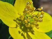 Anémone fausse renoncule (Anemone ranunculoides)
