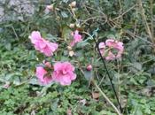 Camellia Brigadoon Donation