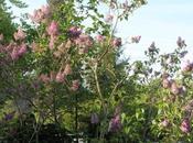 Syringa, Lunaria, violet blanc