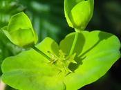 Euphorbe bois (Euphorbia amygdaloides)