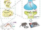 #Cell #mémoire #rayonsultraviolets #glutamate #acideuroncanique Exposition Modérée Rayons Ultraviolets améliore l'apprentissage mémoire stimulation d'une nouvelle voie biosynthèse glutamate dans cerveau