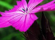 Œillet chartreux (Dianthus carthusianorum)
