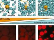 #Cell #mTORC1 #cytoplasme #particules #phases mTORC1 contrôle séparations phases propriétés biophysiques cytoplasme modulation l'encombrement