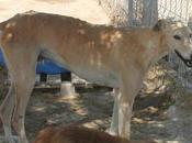 P.Fernando grand lévrier galgo beige 4ans super gentil adopter sous contrat associatif chiens galgos