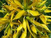 Grande gentiane (Gentiana lutea)