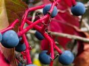 Vigne vierge vraie (Parthenocissus quinquefolia)