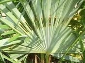 Papillon palmier Paysandisia archon