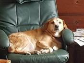 LODY croisée Labrador adopter gracieusement chez chiens galgos