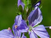 Véronique officinale (Veronica officinalis)