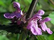 Épiaire marais (Stachys palustris)
