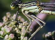 Agrion larges pattes (Platycnemis pennipes)