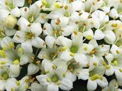 Viburnum lantane (Viburnum lantana)