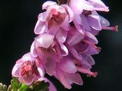Callune (Calluna vulgaris)