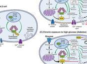 #trendsinendocrinologyandmetabolism #cellule #différenciation #Nrf2 Maître Capitaine Différenciation Cellulaire