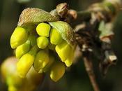 Cornouiller mâle (Cornus mas)