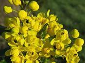 Mahonia faux-Houx (Berberis aquifolium)