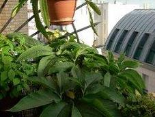 L'été plantes pots typhonium
