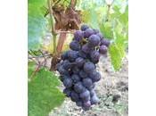 VdV#8: Bordeaux sans merlot cabernet!