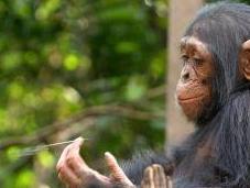 Mémoire chimpanzé